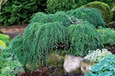 Tsuga canadensis 'Cole's Prostrate' An outstanding dwarf Canadian Hemlock. This spreading conifer has stiff main branches that knuckle under and bend downwards to create a truly prostrate form. Expose
