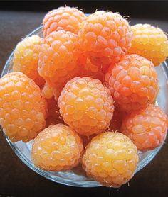Raspberry, Honey Queen Rare gold raspberry with sweet-as-honey flavor.