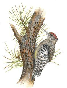 Yellow-bellied Sapsucker - Sphyrapicus varius