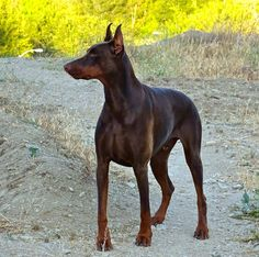 DOBERMAN PINSCHER Marilyn Meadows Bernstein One of my best photos of Ice  #dobermanpinscher #doberman .jpg (960×953)