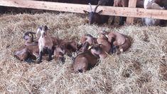 Die Ruhe vor dem Sturm Goats, Animals, Animales, Animaux, Goat, Animal, Animais