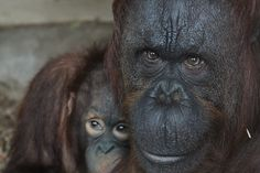 Photograph of the female Orangutan and her baby at Dudley Zoological Gardens.