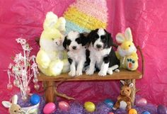 Happy Easter to All! View more of our Tibetan Terrier pups on our website... http://www.rileekennels.com