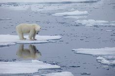 Polar Bear Paw, Polar Bear Facts, Polar Bear Climate Change, Greenland Ice Sheet, Polar Bears International, Effects Of Global Warming, Sea Ice, Environmental Issues, Open Water