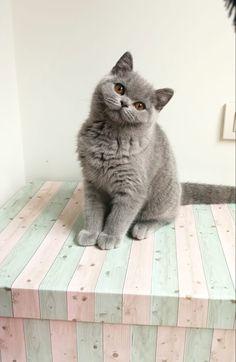 British Shorthair 4 m Cute Baby Cats, Cute Babies, Gatos British, Gato Grande, Cattery, British Shorthair, Cat Breeds, Future, Pets