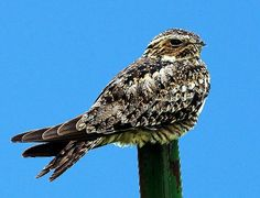 Common Nighthawk close-up in Oklahoma