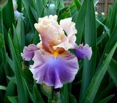 Iris germanica 'Chasing Rainbows'