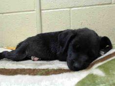 Downey CA: German Shepherd mix puppy needs immediate RESCUE. www.PetHarbor.com pet:LACO.A4740649