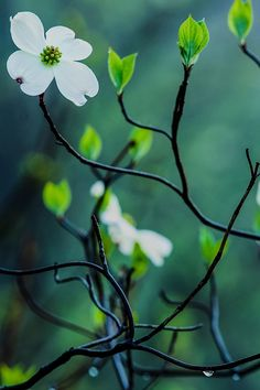 Dogwood Blossom in Hocking Hills by Jim Crotty