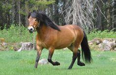 Gotland Pony - stallion Qum 609 (Johns Russ - Juliana - Kanel) | Gotlandsruss iFokus