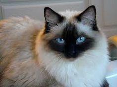 ragdoll cat - Google Search
