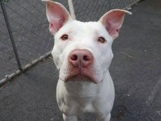 TO BE DESTROYED THUR 1/9/14 - Manhattan Center    DELPHINE - A0988518   FEMALE, WHITE, PIT BULL MIX, 1 yr, 6 mos  STRAY - STRAY WAIT, NO HOLD Reason STRAY   Intake condition NONE Intake Date 12/30/2013, From NY 10453, DueOut Date 01/02/2014