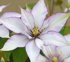 Clematis Samaritan Jo-  Hardiness Zone: 5-9 S / 5-9 W  Height: 4-5'  Exposure: Full or Part Sun  Blooms In: May-Sept  Spacing: 2'  Ships as: One Quart Pot