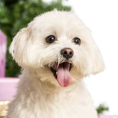 We think a great Maltese dog name for this cutie might be...Amore, Speedy or even Peanut for the small pup that has a nutty personality. Find more ideas for your boy or girl Here>>> http://www.dog-names-and-more.com/Maltese-Names.html