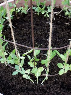 Sugar Snap Pea Vines in Container..You can eat the whole snap pea, pod and all, cooked or raw. To use them as snow peas, harvest really young, before pods fill out...Sue 2013