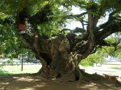 Voici un magnifique arbre en Malaisie, où se trouve en ce moment les #Amazones de #Raid L' #ArbreVert.