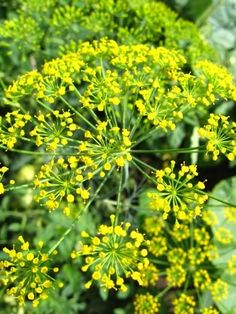 It's Aroma-Fact Thursday time!! Did you know that Fennel seeds were carried by Roman soldiers on long marches, to chew when they did not have time to stop and cook a meal, and by devout Christians to satisfy the cravings of hunger on fasting days? During the Middle Ages the use of Fennel was entwined with witchcraft and superstition. It was used with St John's Wort as protection against evil forces! Why not check out our Fennel Sweet essential oil?…