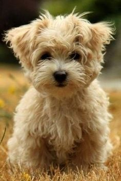 that moment when you finally figure out what your rescue dog is <3 morkie