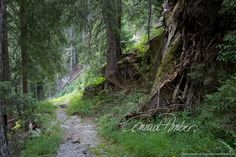 Motive finden - Conrad Amber Country Roads, Plants, Old Trees, Woodland Forest, Landscape, Nature, Flora, Plant, Planting