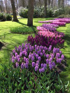 Beautiful Fragrance, hyacinths Kuekenhoff Garden