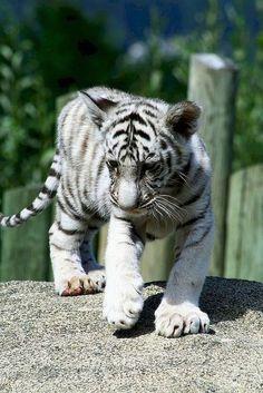 Die 906 besten Bilder zu Gepard, Leopard, Loewe, Luchs, Puma