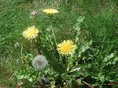 """Non-toxic Dandelion Weed Killer     1/2 gallon of Apple Cider Vinegar    1/4 c table salt    1/2 tsp Dawn liquid dish soap      Mix above ingredients in a spray bottle.  Spray weeds thoroughly.   I haven't tried this yet, but place I got recipe from says it """"works better than Round Up - kills weeds on 1st application.  The Dawn dish soap strips the weed of its protective oils so the vinegar can work with deadly force.  Safe to use in a yard used by pets."""""""
