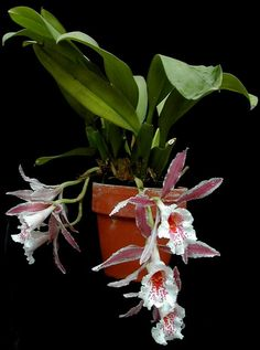 hybrid of Trpla.Evaline (tortilis x marginata) x suavis,