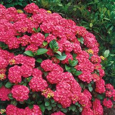 Hydrangea macrophylla 'Forever Pink' is the best truly dwarf hydrangea, slowly reaching a height of 2 to 3 feet instead of the usual 5. Flowers appear in June, a month earlier than most, and continue until frost. These shade-tolerant plants grow well under trees or on the shady side of a building.