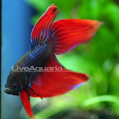 1000 images about tropical freshwater aquarium on for Lifespan of a betta fish in captivity
