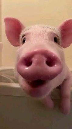 Cute Kawaii Animals, Baby Animals Super Cute, Cute Little Animals, Cute Funny Animals, Cute Baby Pigs, Cute Piglets, Baby Piglets, Tierischer Humor, Teacup Pigs