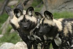 African Wild Dog | Lincoln Park Zoo