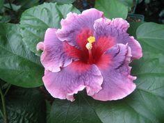 Tahitian Antique Rainbow Hibiscus