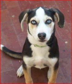 Busky (Beagle x Husky) Beagle Husky Mix, I Love Dogs, Cute Dogs, Husky Cross, Terrier Dog Breeds, Cat People, Cute Creatures, Dogs And Puppies, Doggies