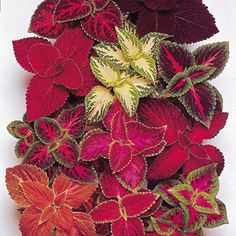 Coleus, the leaves may be green, pink, yellow, black (a very dark purple), maroon, and red.