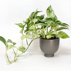 Idea Of Making Plant Pots At Home // Flower Pots From Cement Marbles // Home Decoration Ideas – Top Soop Hanging Plants Outdoor, Plants For Hanging Baskets, Water Plants, Potted Plants, Indoor Plants, Flowers Perennials, Planting Flowers, Plante Pothos, Marble Queen Pothos
