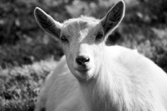 Lambie the Goat  Black and White Fine Art by OneDecember on Etsy, $15.00