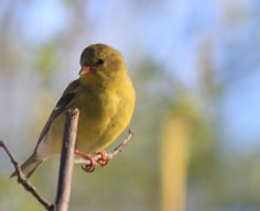 Sweet American Goldfinch