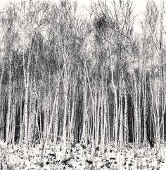 Silver Birch Forest, Wuchang, Heilongjiang, China, by Michael Kenna Fine Art Photography, Amazing Photography, Forest Tattoos, Birch Forest, Black And White Landscape, Walking In The Rain, China, Black And White Photography, Photo Art