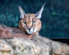 Caracal by Kathy Weaver