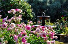 Fountain in English rose garden. Pink iceberg roses. by whowhatwhen.