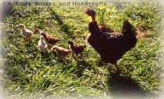 Hobbits, Horses, and Handcrafts: Hatching Chicks With a Broody Hen, Part 2: Is My Biddy Broody?