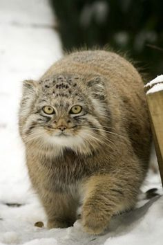 Pallas #cat | Otocolobus manul I just discovered this breed of wild #cat and can't stop looking at photos and videos. It is one of the coolest looking animals I've ever seen.