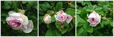 Harmaafuksia: Iloa kiittämisestä ja oman pihan ruusuista