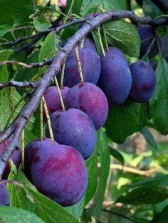 Fruit Trees Garden Orchards Plants 34 Ideas For 2019 Fruit Tree Garden, Fruit Plants, Garden Trees, Fruit Trees, Trees To Plant, Fruit Flowers, Fruit And Veg, Fruits And Vegetables, Fresh Fruit