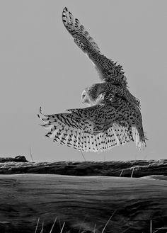 absinthius:    Owl In Flight