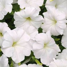 Photo of Petunia Easy Wave White F1 Pelleted, Easy Wave Series F1