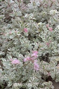 Monrovia's Variegated Stonecrop details and information. Learn more about Monrovia plants and best practices for best possible plant performance.