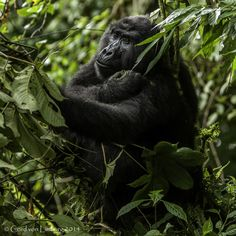 Endangered Species: Gorilla Lady peacefully eating in trees Photo by Cord von Limburg - National Geographic Rose Photography, Wildlife Photography, Amazing Photography, National Geographic Animals, National Geographic Photos, Jungle Life, Pencil Drawings Of Animals, Call Of The Wild, Photo Tree