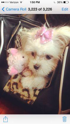 Little miss Dutchess Teacup Maltese, Little Miss, Teddy Bear, Toys, Animals, Activity Toys, Animales, Animaux, Clearance Toys