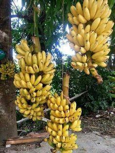 Bananas from Puerto Rico Banana Plants, Fruit Plants, Fruit Garden, Fruit Trees, Banana Fruit, Puerto Rican Dishes, Puerto Rican Cuisine, Puerto Rican Recipes, Puerto Rico Island